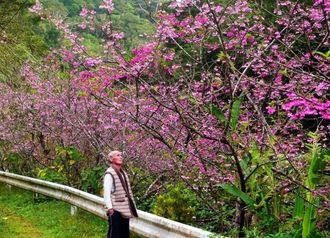 自宅の桜の2代目となる満開の桜を、我が子のように見守る我那覇宗幸さん=名護市大川の「うふまた」