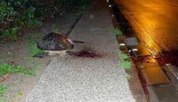 産卵で上陸 ウミガメひかれ死ぬ 沖縄・大宜味村の国道