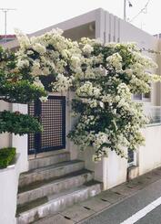 白い花を咲かせたブーゲンビリア=北中城島袋
