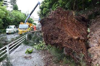 強風で根こそぎ、歩道側に倒れた樹木=2日午前10時42分、恩納村仲泊(金城健太撮影)