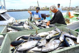 シビマグロを水揚げする漁師ら=6日、沖縄市・泡瀬漁港