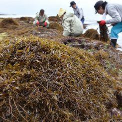 潮が引いた岩場でヒジキを収穫する漁業関係者=16日午後、与那原町・当添漁港近くの海岸(渡辺奈々撮影)
