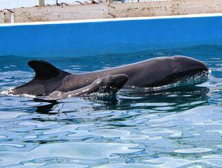 母親の「もも」(奥)に寄り添って泳ぐオキゴンドウの赤ちゃん=11日、本部町・海洋博公園内のイルカラグーン(国営沖縄記念公園・海洋博公園提供)