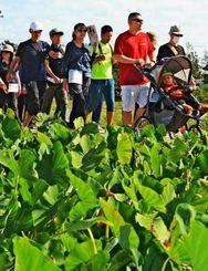田芋畑が広がる田園風景を楽しみながらゆっくりと歩く=28日、金武町金武