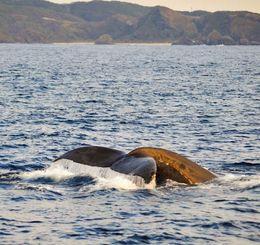 尾びれを見せて泳ぐザトウクジラ=23日午後3時ごろ、座間味村北5キロ沖(宮城清さん撮影)