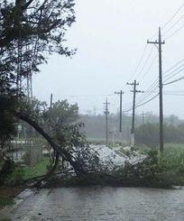 強風で県道183号になぎ倒されたモクマオウの枝=25日午前9時56分、南大東村池之沢(東和明通信員撮影)