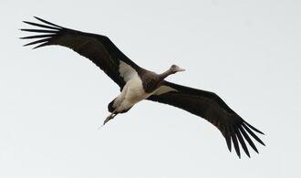 大きな翼を広げ、石垣島上空を旋回するナベコウ=10月30日(小林雅裕さん撮影)