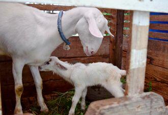 生まれた子ヤギと母親の小雪=2日、西原町・坂田小