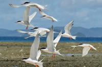 """鳥たちの""""聖域""""、アジサシ3千羽が繁殖する沖縄の無人島 「最長寿」の1羽を発見"""