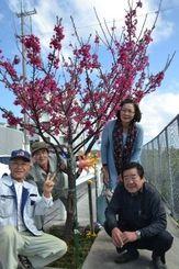 見事に咲いた新垣重雄さん(左端)のヒカンザクラ=30日、浦添市の西原公民館裏