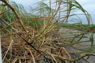 海岸近くの畑では強風により多くのサトウキビが倒れていた=4日午前、糸満市大度