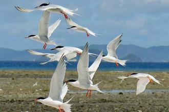 無人島の集団繁殖地を飛び交うベニアジサシ=7日午前、渡嘉敷村・神山島(渡邊奈々撮影)