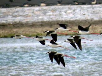 群れで水上を飛ぶセイタカシギ=26日、沖縄市泡瀬干潟(ウミエラ館屋良朝敏館長撮影)