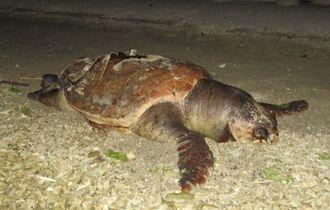 死骸で見つかったアカウミガメ=4月27日夕、沖縄市泡瀬