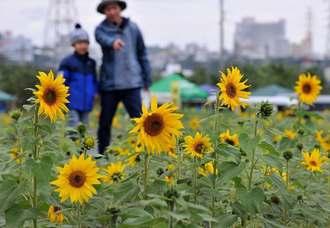 寒い冬に真夏の花が楽しめるひまわりIN北中城=21日、北中城村熱田(山城知佳子撮影)