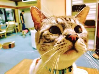 「おやつ!!」猫カフェへ行った時に、おやつをあげる瞬間
