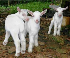 仲良くたわむれる三つ子ヤギ=石垣市内の飼育地