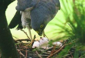 3羽のひな鳥に餌を与えるツミの親鳥=14日午後、沖縄本島中部(読者提供)