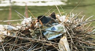 ビニール袋が絡まった巣の中で抱卵するバン=9日、豊見城市与根(金城健太撮影)