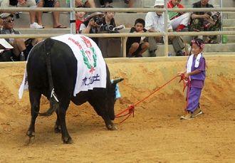 試合に勝った後、しっぽを振って喜ぶ闘牛