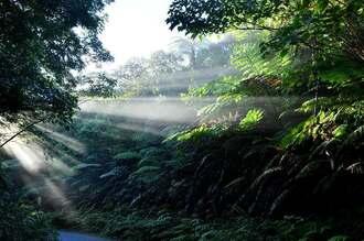 世界自然遺産に登録された沖縄島北部「やんばる」の森。朝の光が木々に差し込み、幻想的な風景をみせる(国頭村)