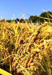 新品種 難消化米