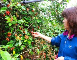 昔の味覚を思い出し、ザウカニを摘む来園者=宮古島市上野の大野果樹園