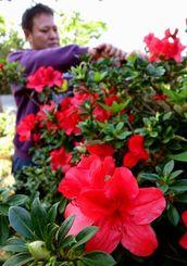 鮮やかに咲くケラマツツジ=23日、東村村民の森つつじ園