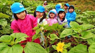 被災地の復興を願って植えられたヒマワリ畑の迷路で遊ぶ園児たち=11日午前、糸満市摩文仁・沖縄県平和祈念公園