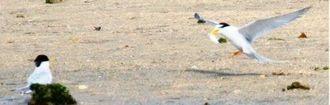 魚をくわえてメス(左)に近づくオスのコアジサシ=石垣市新川