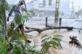 強風で倒れた街路樹=21日午前11時ごろ、那覇市久茂地