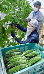 青々としたゴーヤーを収穫する玉城力さん(手前)と父親の勝弘さん=7日、糸満市米須(下地広也撮影)