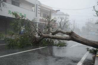 台風18号の猛烈な風によって車道に倒れた街路樹=13日午後5時54分、宮古島市平良下里