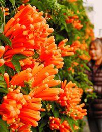 花のカーテン 陽光の輝き/カエンカズラ 民家の壁彩る