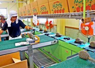 パインの選果作業が行われている東村総合農産加工施設
