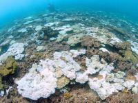 サンゴ白化、バクテリアが関与 静岡大が初解明