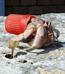 伊江ビーチで見つかった、ペットボトルのキャップに入ったヤドカリ=伊江村内