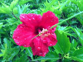 雨に濡れるハイビスカス