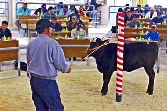 高値取引が続いた伊江村の今年初の牛の競り市=伊江村家畜競り市場
