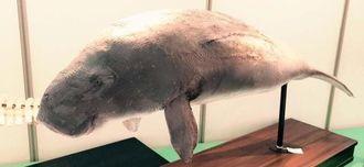 大哺乳類展で、愛くるしい目や鼻など間近で素顔が見られるジュゴンの剥製=県立博物館・美術館