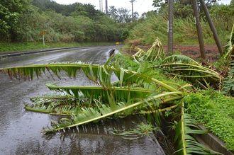 暴風で倒れたバナナの木=7日午後2時43分、石垣市内