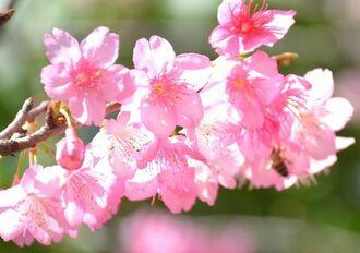 鮮やかなピンクが映えミツバチも飛び交うカンヒザクラの花=24日、大保ダム
