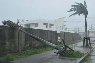 台風17号の強風にあおられ、倒れた木が歩道をふさいだ=27日11時15分、石垣市真栄里