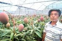 びっくりマンゴー! 1本の木に800個 沖縄の農園「ギネス挑戦したい」