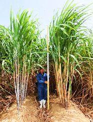 サトウキビの新品種「RK97-14」(人物の右側)。従来の農林8号(同左側)と比べ茎は太く、伸長も良い=糸満市・県農業研究センター(県糖業農産課提供)