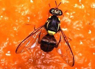 「ミカンコミバエ」の成虫(沖縄県病害虫防除技術センター提供)