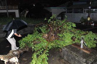 強風で根本が折れて倒れた木=3日午後10時半ごろ、沖縄市越来(喜屋武綾菜撮影)
