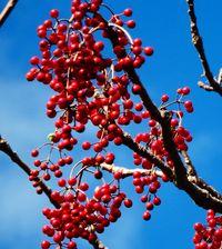イイギリの実 空に映える紅/名護 大川−羽地道沿い