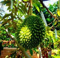 気になる匂いは…? 果物の王様ドリアン、沖縄で実を結ぶ 国内2例目