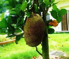 世界最大の果物といわれるパラミツの実=名護市済井出、与那覇さん宅